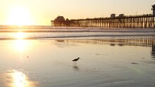 Wooden Pier Silhouette At Sunset, California USA, Oceanside. Waterfront Surfing Resort, Pacific Ocean Tropical Beach. Summertime Coastline Vacations Atmosphere. Seagull Bird On Low Tide Littoral Sand.