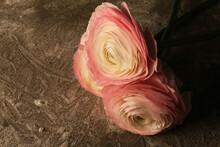 Still Life Con Ranuncoli. Fiori Recisi Dalle Delicate Tonalità Rosa Pallido.