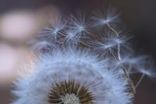 White Fluffy Dandelion Parachutes Dryflower