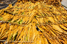 Drying Traditional Tobacco Leaves With Hanging In A Field, Indonesia. High Quality Dry Cut Tobacco Big Leaf.