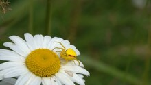Crab Spider Misumena Vatia Is On Chamomile Flower