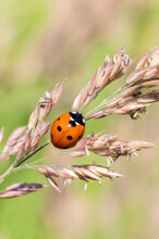Ladybug, (coccinella Septempunctata) A Red Beetle Insect With Seven Spots Resting On A Grass Seed Plant Stem In Summer And Commonly Known As A Ladybird Or Lady Beetle, Macro Close Up Photo
