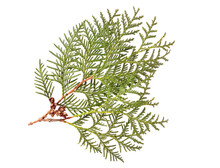 White Cedar Branch With Cones (Thuja Occidentalis). Medicinal Plant. Isolated On White.