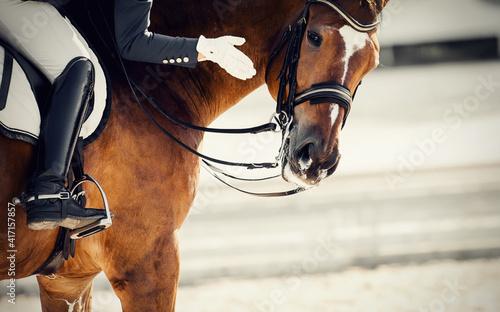 Fototapeta Equestrian sport. Praise the horse. Portrait sports stallion in the bridle. obraz