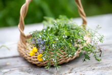 Bouquet Of Medicinal Plants In Basket On A Wooden Table. Fumaria Officinalis, Myosotis Stricta, Ranunculus Repens Collected For Preparation Of Potions And Infusions Of Medicinal Herbs In The Summer
