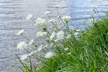 White Wild Cicuta Virosa Flowers Of Poisonous Plant Growing Over The Water. Hemlock Branch With Tiny White Flowers In The Summer. Closeup Of, Selective Focus.