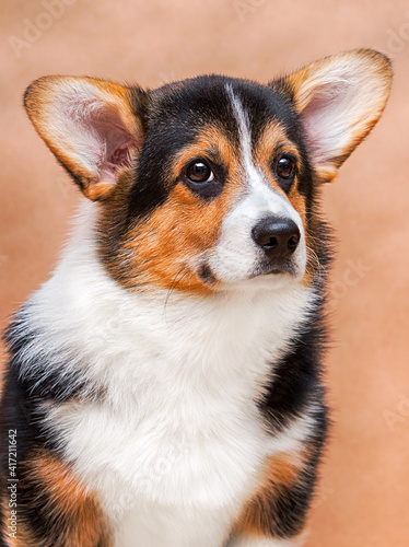 corgi dog face close up © Happy monkey