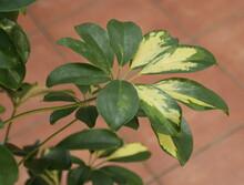 Schefflera Panaché ,feuille Et Plante