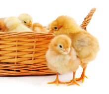 Two Chickens Near The Basket With Chickens.