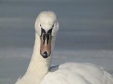 Mute Swan (Cygnus Olor) Close Up Of Swan's Head - Portrait En Face, Poland