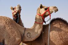 Camels For Sale At Nagaur Fair, Rajasthan, India
