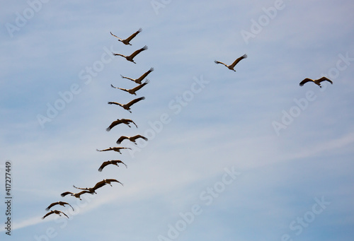 Fototapeta premium Large flock of cranes flying in sky. High quality photo