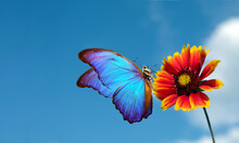 Bright Blue Morpho Butterfly On Colorful Red Flower Against A Blue Sky With Clouds. Gaillardia Flower And Butterfly