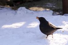 Blackbird Eats Seeds In The Snow