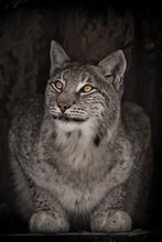 What Is There Above The Beautiful Lynx Asks, Peering With Clear Eyes