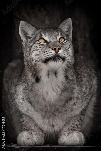 Look up sly gray-haired predator lynx, close-up from front on dark