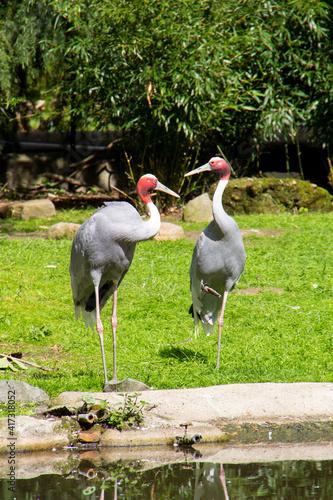 Fototapeta premium Vertical shot of a couple of crane birds in a zoo near a pond