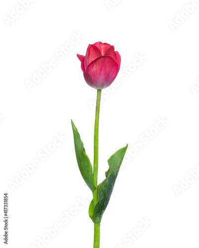 Red tulip flower isolated on white background Wallpaper Mural