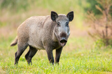 Wild Boar, Sus Scrofa, Standing With Open Mouth On Grass In Summer. Animal Wildlife Feedong On A Meadow From Side View. Brown Swine Looking To The Camera On Gren Field.