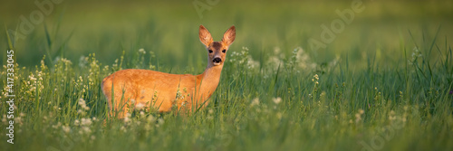 Tableau sur Toile Roe deer, capreolus capreolus, doe standing on meadow in summer with copy space