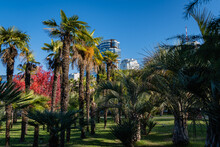 Young And Old Chinese Windmill Palms (Trachycarpus Fortunei) Or Chusan Palms In Cooperative Park Near Sea Trade Port.High-rise Residential Buildings In Background. Sochi, Russia - 07 December 202