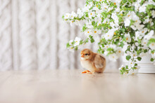 Newborn Fluffy Fledgling Chicken Against The Background Of White Flowers. Symbol Of Spring, Holiday, Easter, Congratulations. Copy Space