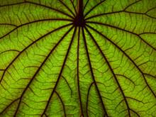 Green Leaf Of Golden Leaved Liana ( Bauhnia Aureifolia K. & S. S. Larsen ) Texture