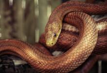 Elaphe Rat Snake Rusty Red Close Up Nature Macro Reptile Wild Life