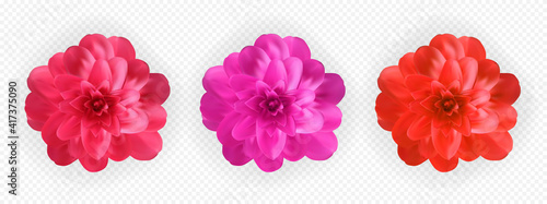 Canvas Print Set of Colorful naturalistic blossoming pink, red and purple camellia flower on tranparent background