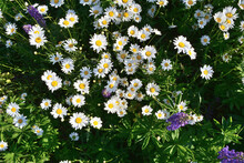 Top View On Blooming Daisies And Lupins. Summer Garden
