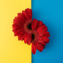 Red Gerbera On Yellow And Blue Background. Spring And Summer Concept. Flat Lay.