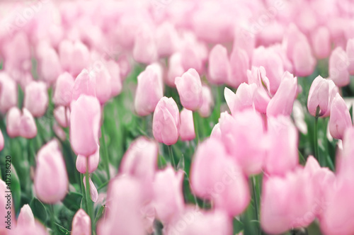 Spring blossoming light pink tulips, springtime flower background, pastel and soft floral card, shallow DOF, toned © ulada