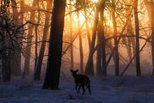 White-tailed Deer - Sunrise - Fog
