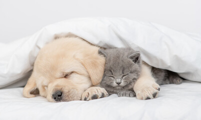 Golden retriever puppy hugs gray kitten. Pets sleep together under white warm blanket on a bed at home