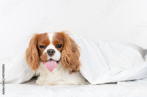 King charles spaniel puppy sits under a warm blanket on a bed at home and looks at camera © Ermolaev Alexandr