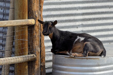 Young Goat Sits On Metal Bin.