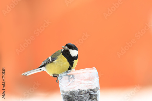 A titmouse with a seed in its beak near the feeder on a blurred orange background Fototapeta