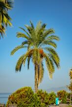 Dates Palm Tree On Sky Background