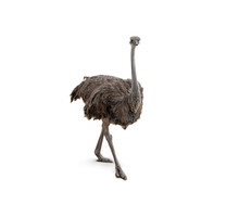 Cute Ostrich Isolated On White Background.