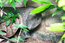 Water Monitor Lizard On The Concrete Bank Of The Canal. This Species Of Reptile Has Adapted Well To The Neighborhood Of Humans In Sri Lanka And Is Called Kabaragoya