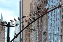 A Group Of Rock Pigeons Sitting On A Street Lamppost In Manhattan, New York; One Flies Away