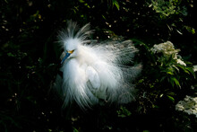 Snowy Egret In The Tropics Of Florida