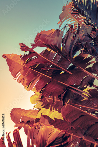 Creative layout with tropical leaves of banana palm on a gradient background on trendy muted colours. © Repina Valeriya