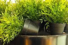 Green Plant In A Black Flowerpot
