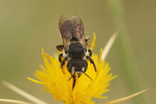 Solitary Bee, Lithurgus Chrysurus Sipping Nectar On The Yellow Flowers Of Centaurea Solstitialis
