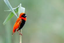 Southern Red Bishop Or Red Bishop (Euplectes Orix) In Breeding Plumage Is Sitting On A Reed Stalk   In A Lake The The Town Of Mkuze In South Africa