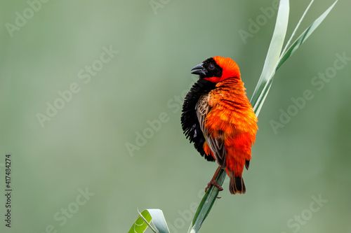 Fotografía Southern red bishop or red bishop (Euplectes orix) in breeding plumage is sittin