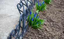 Beautiful Blue Muscari Grow On The Ground And Bloom In The Flowerbed. Background. Close Photo