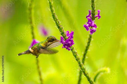 Fototapeta premium Costa Rica, Arenal. Green thorntail feeding on vervain flower.