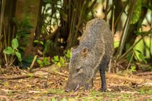 Costa Rica, La Selva Biological Station. Collared Peccary Close-up.